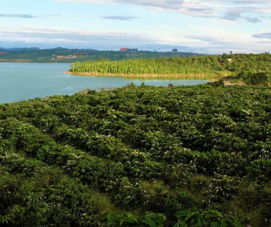 coffee fields in vietnam